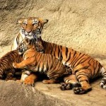 Number of RBTs in Odisha's Hadagarh sanctuary goes up to four