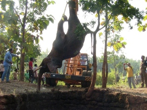 The tusker being lifted out of the ditch with a crane