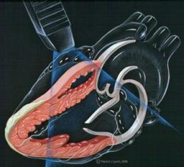 vascular function