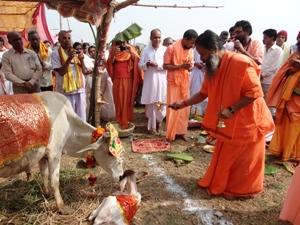 cow saving monk