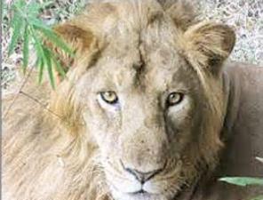 The Father: Lion 'Narasingha'