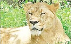 Lioness 'Rukmini'