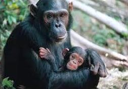 pic: wildchimpanzees.org
