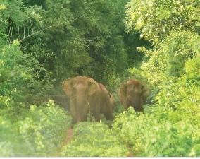 chandaka elephants