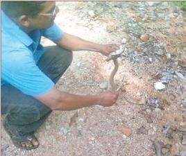 cobra at jagamara