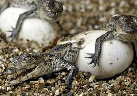 croc nesting