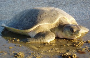 pic: www.seaturtles911.org