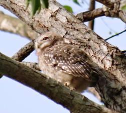 owlet 3