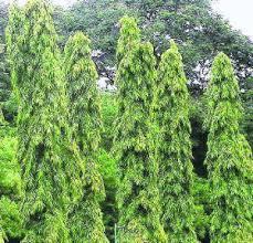 Ashoka trees