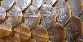 pangolin shell