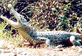 With the death of the last Caiman crocodile on Sunday, the species has now been completely wiped out in Nandankanan
