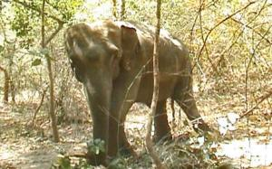 shankar the elephant