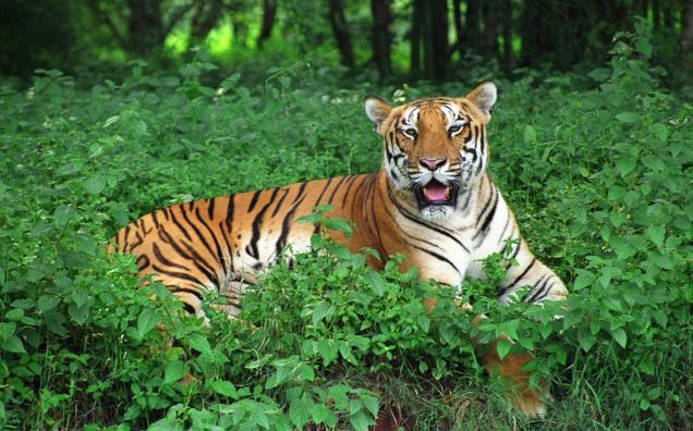 Royal Bengal Tiger Similipal