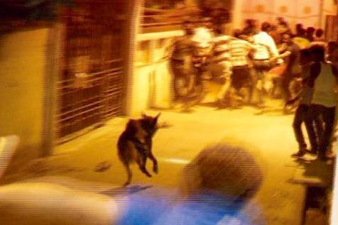 hyena palasuni 1