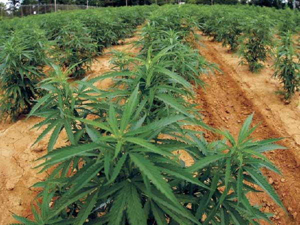 03-1428054920-cannabis