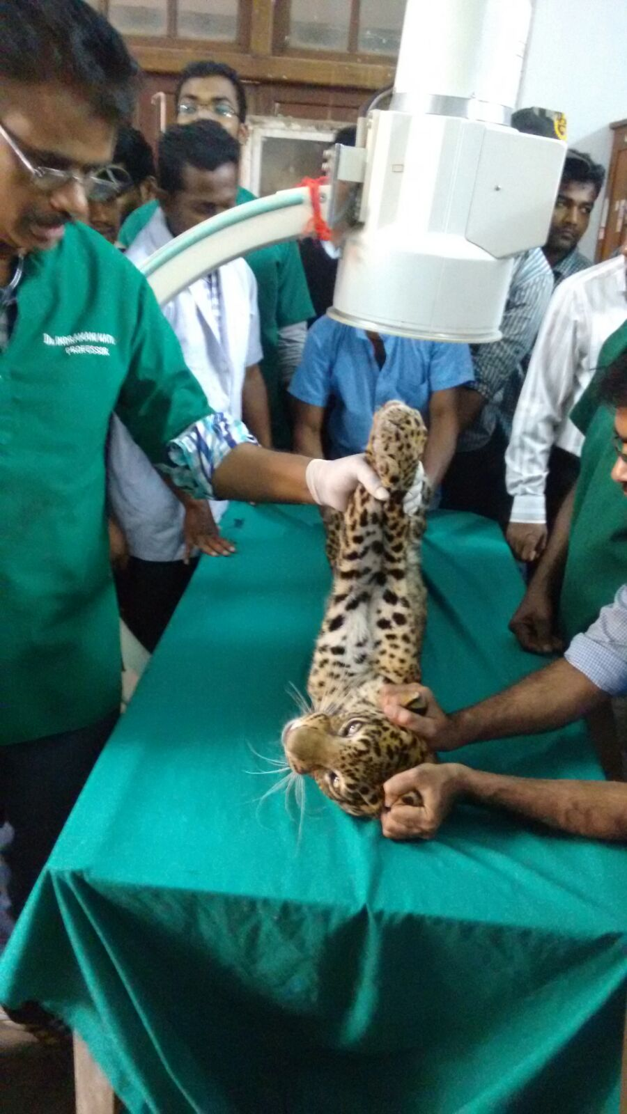 leopard injured