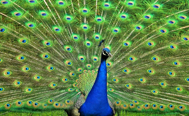 4-beautiful-peacock-photography.preview