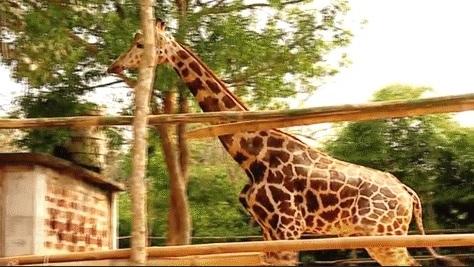 Giraffe joy2