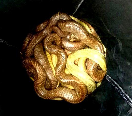 Venomous snakes rescued
