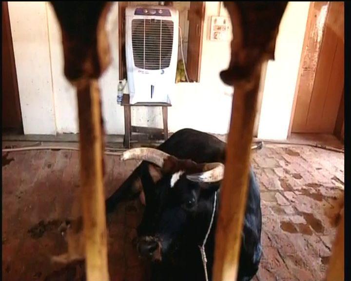 AC cattleshed of Sanatan mahakud