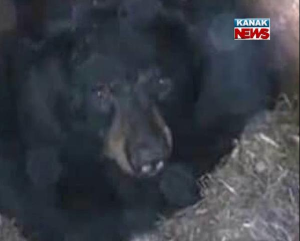 Jajpur bear attack