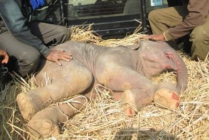 baby_calf dies