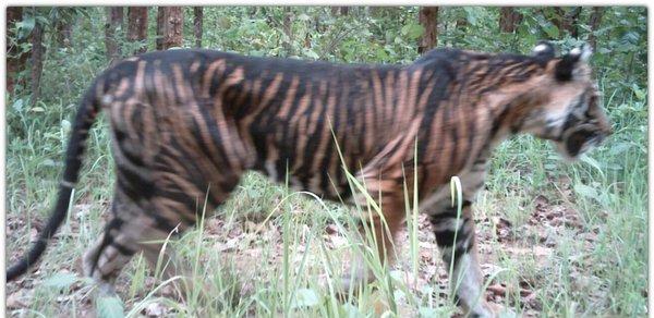 melanistic tiger