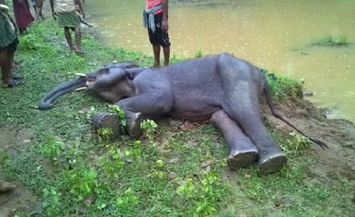 Alusingha Sick elephant