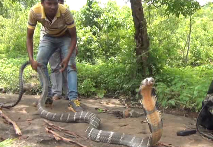 King Cobra rescued from Dukura range copy