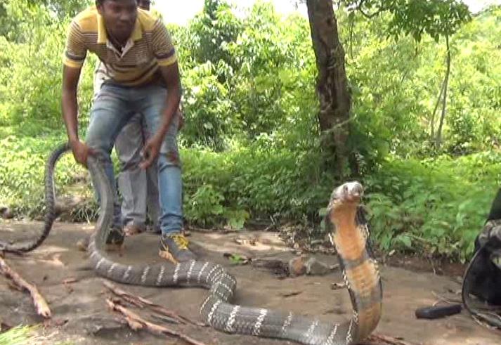 King Cobra rescued from Dukura range copy