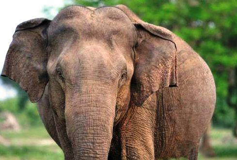 105795_elephantsrilanka