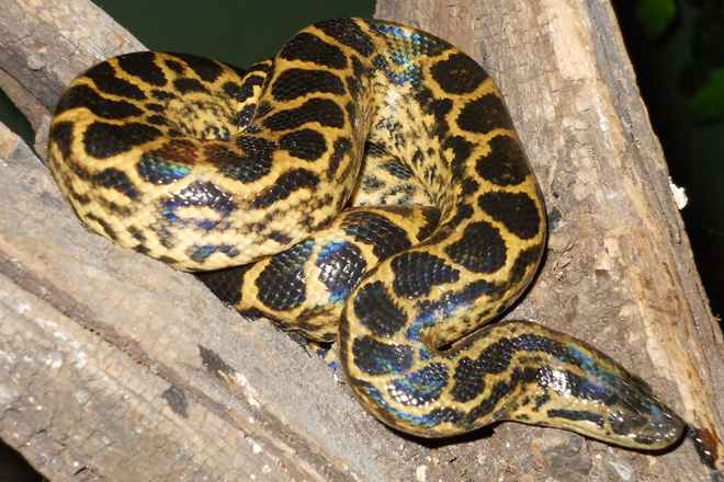 yellow-anaconda