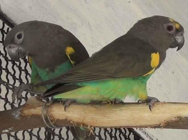 meyers-parrot