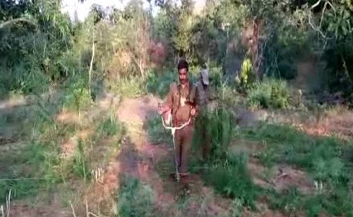 ganja-plantation