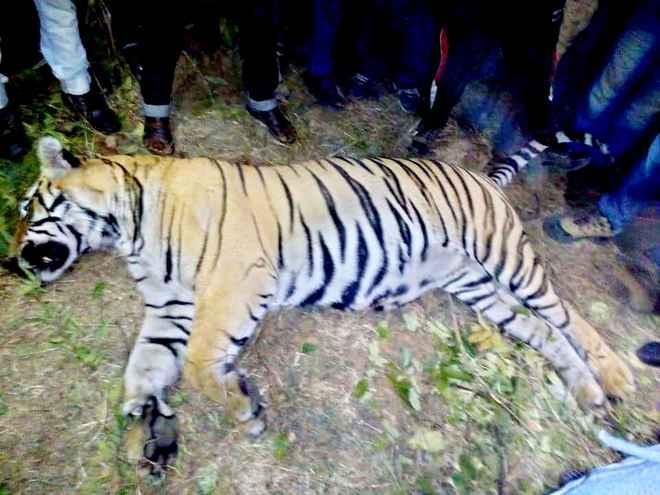 tiger-carcass