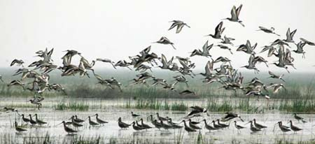 migratory-birds-chilika
