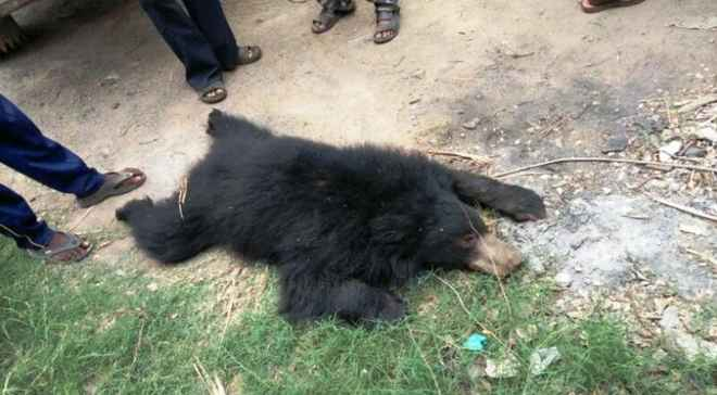 bear-beaten-death