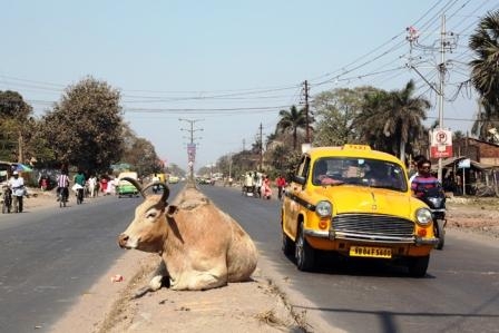 car cow accident