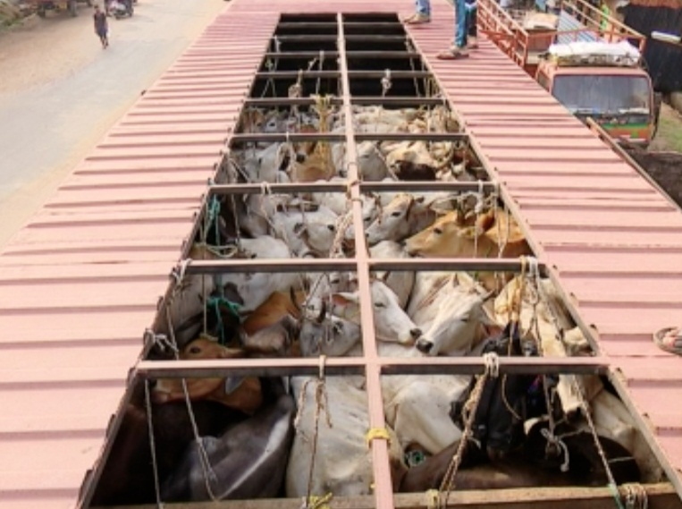 cattle-trafficking