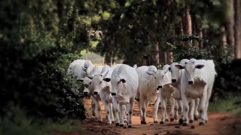 cows-summer