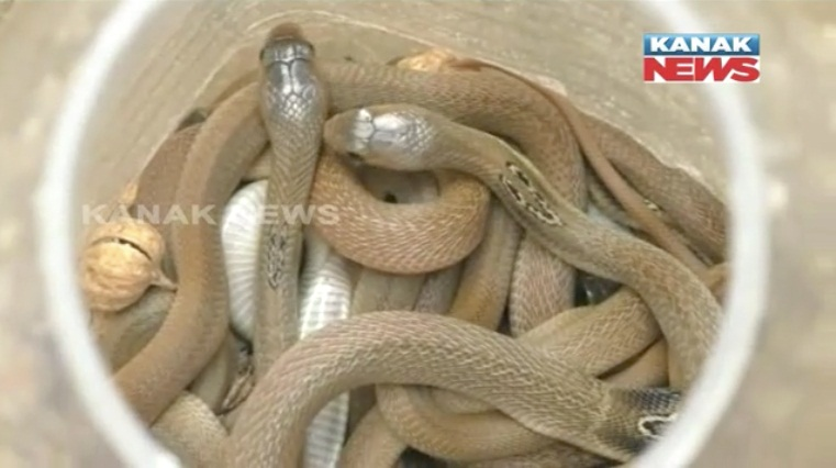 Over 25 poisonous snakes rescued from house in Odisha
