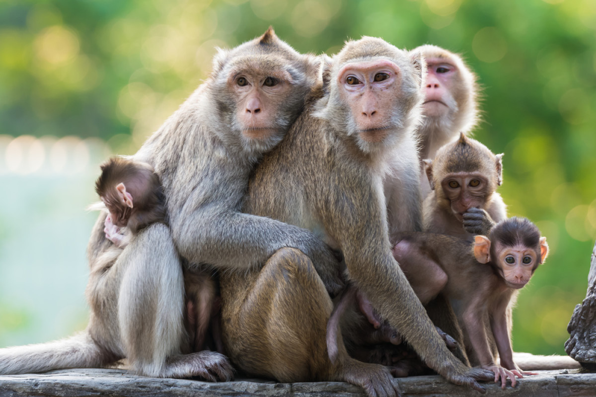 Monkeys Likely To Be Declared Vermin In Goa