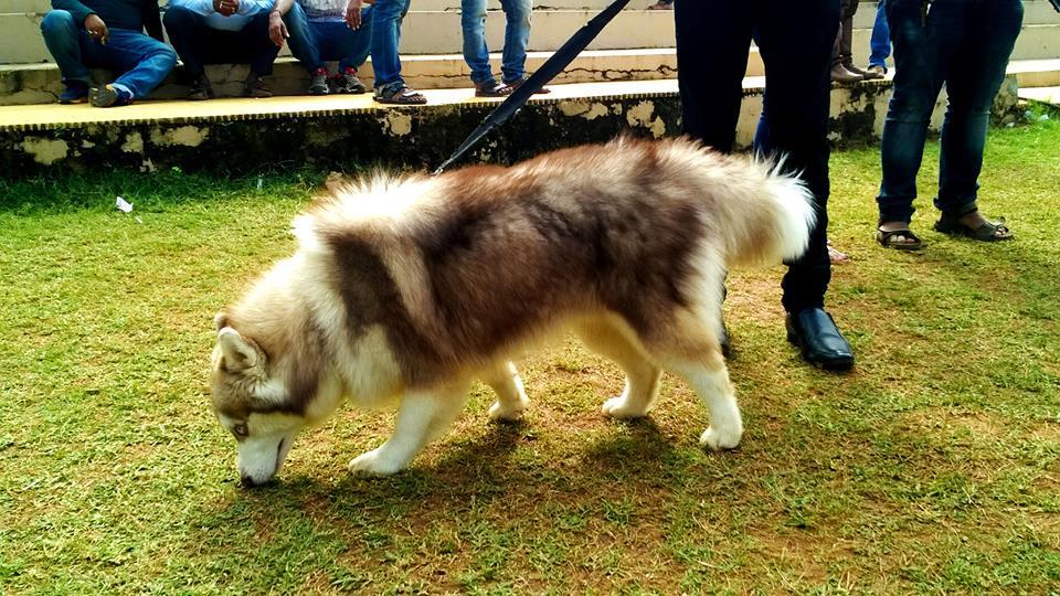 Siberian Husky Dog Show Winners