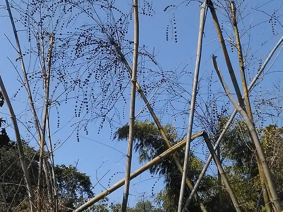 Bamboo flowering 1