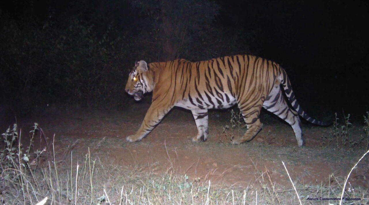 tiger-census