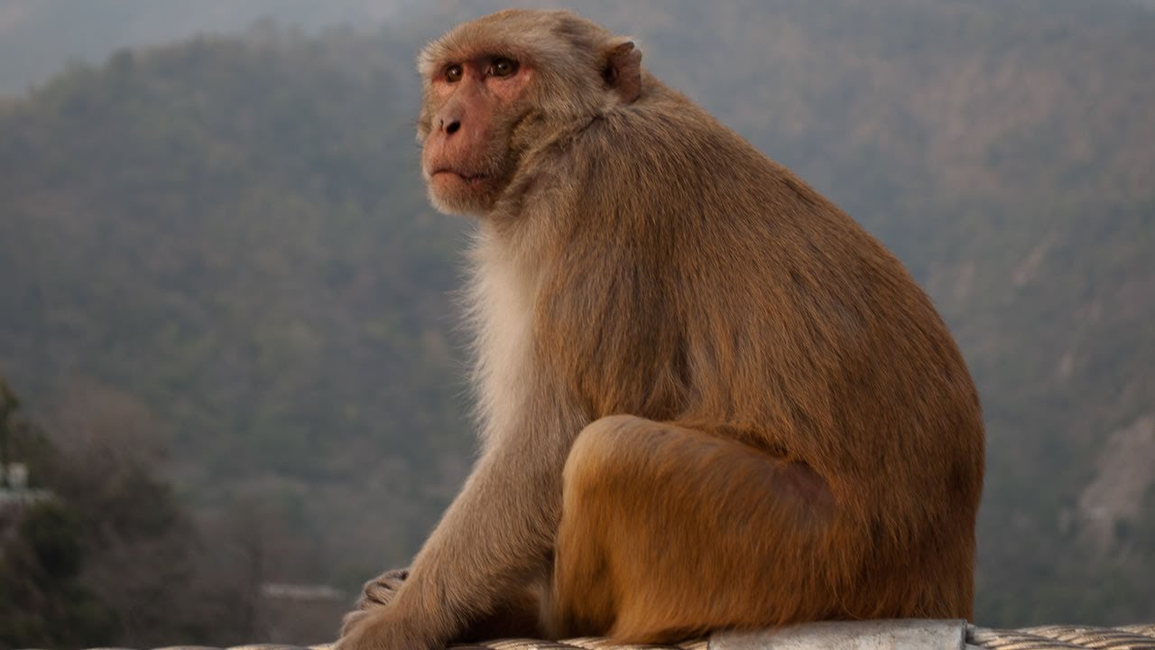 Monkey snatches 16-day-old baby in Odisha; rescue operation on