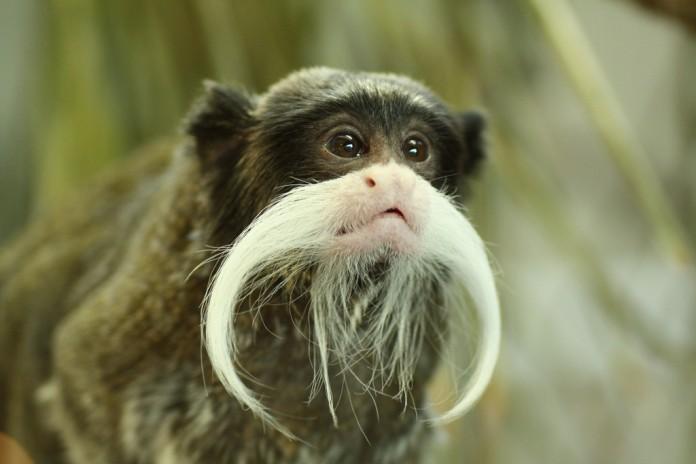 Tamarin-monkey