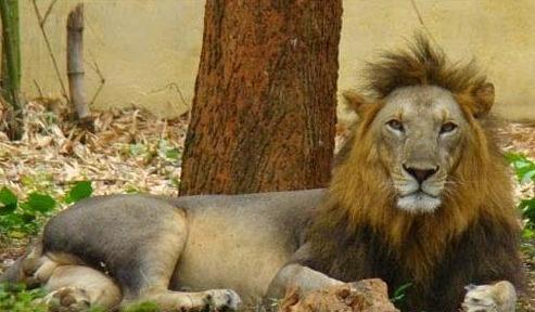 nandankanan african lion