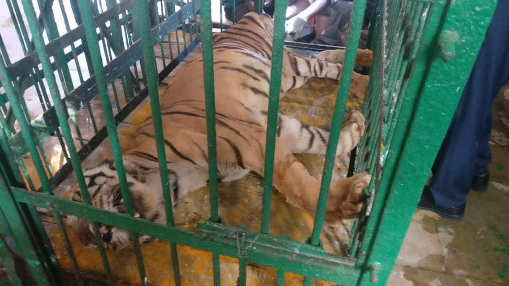 Bengal Tiger Manish