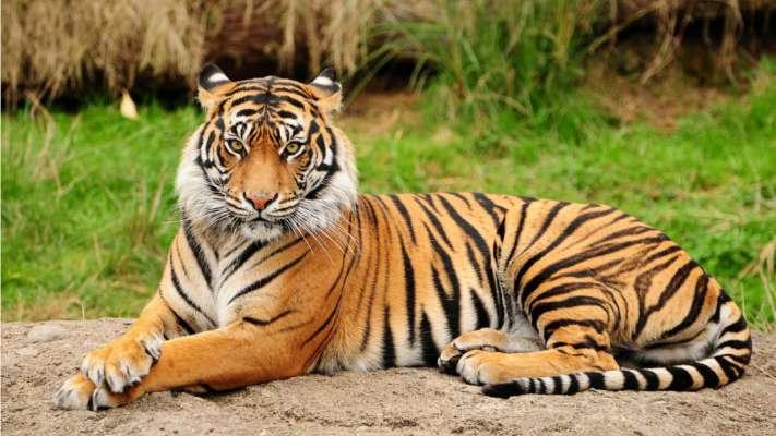 Tigress 'Sundari'